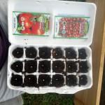 Tomato Seedlings Started