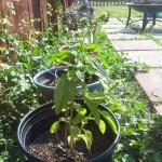 Wow My Basil Plant